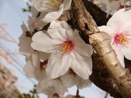 桜の花をアップで撮りました。 サイバーショット・cyber-shot DSC-T100で撮影