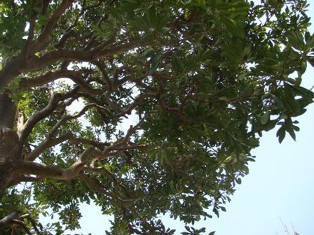 木の写真 サイバーショット・cyber-shot DSC-T100で撮影
