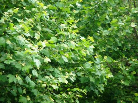 なんの木かは不明。サイバーショット・DSC-T100で撮影