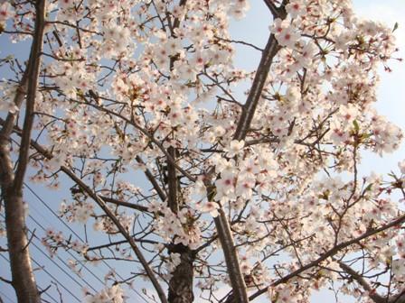 桜の花が沢山 サイバーショット・cyber-shot DSC-T100で撮影